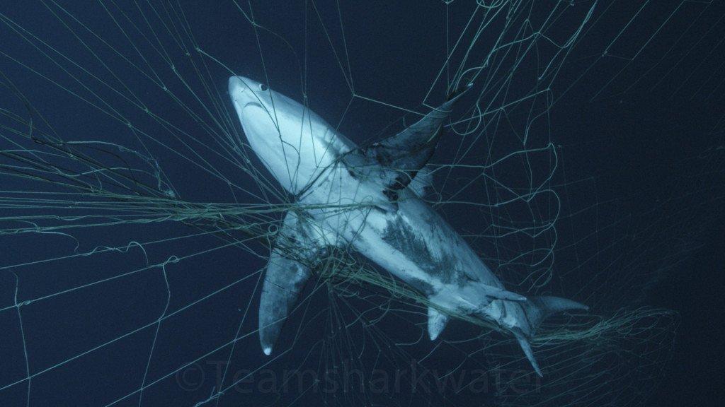 Stop West Coast Driftnet Fishing