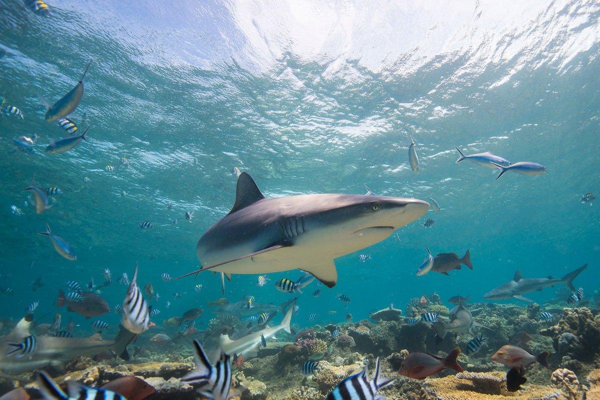 Juvenile Gray Reef Shark, Carcharhinus amblyrhynchos, Shark Reef, South Pacific, Fiji,