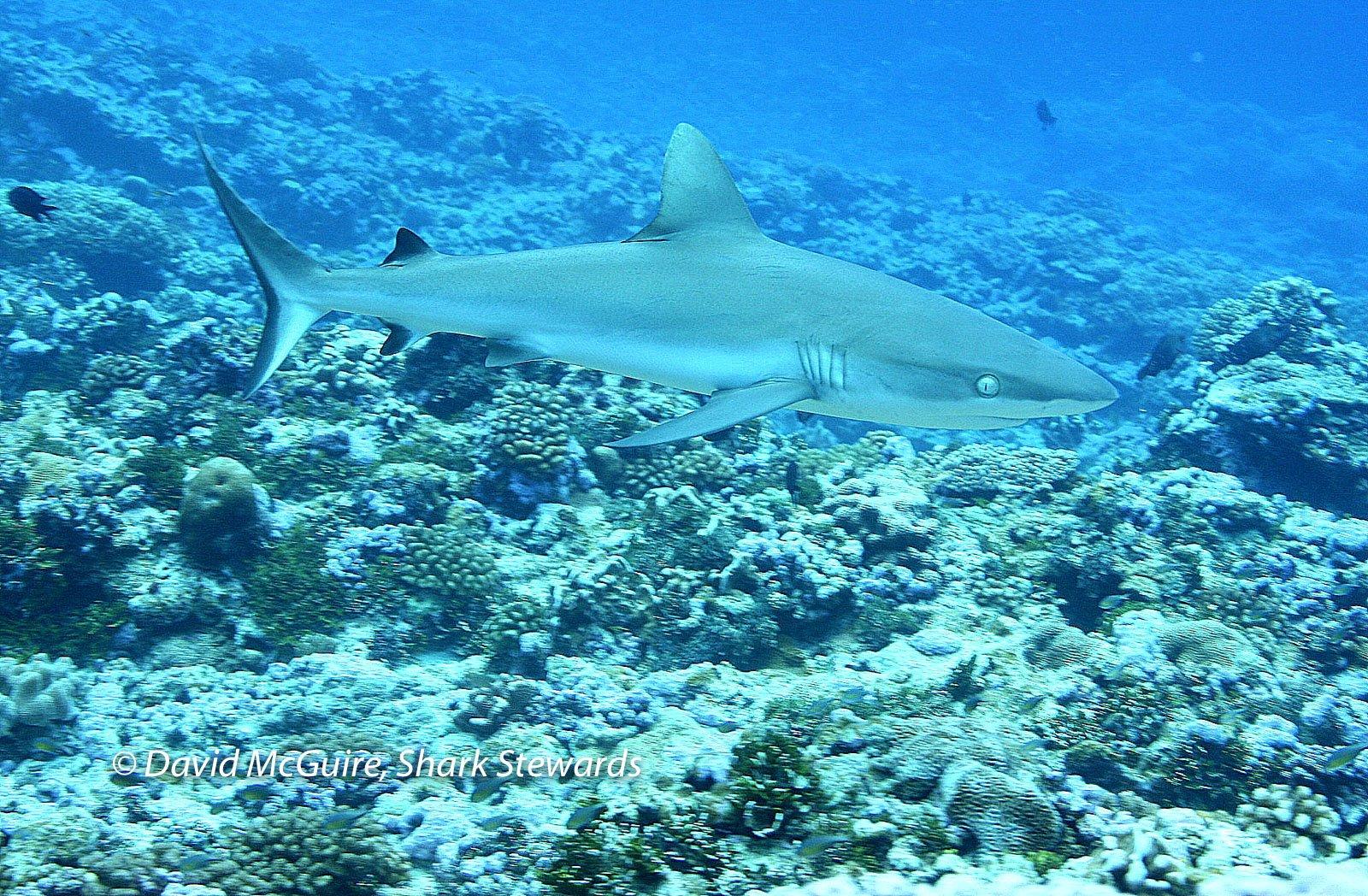 Palmyra-Reef-Shark