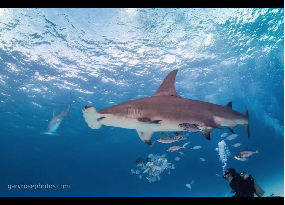 art for sharks