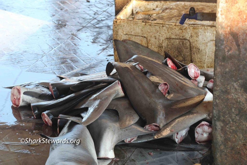 USA Shark Fin Sales Elimination Act Reintroduced